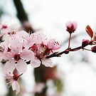 Spring Blossom by Terrie Taylor