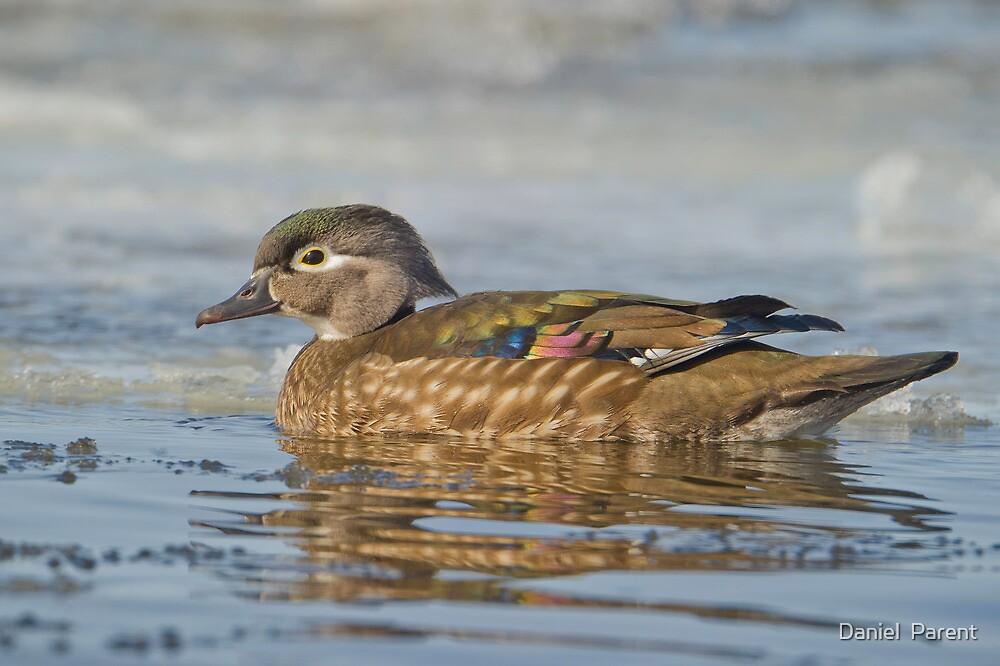 Female Wood Duck by Daniel  Parent