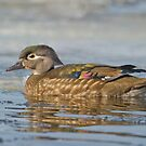 Female Wood Duck by Daniel  Parent