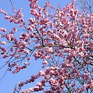 Pink Blossom by Chris Goodwin
