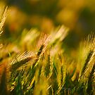 Grasses at Sunset by Escott O. Norton