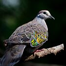Bronzewing Pigeon by Lance Leopold