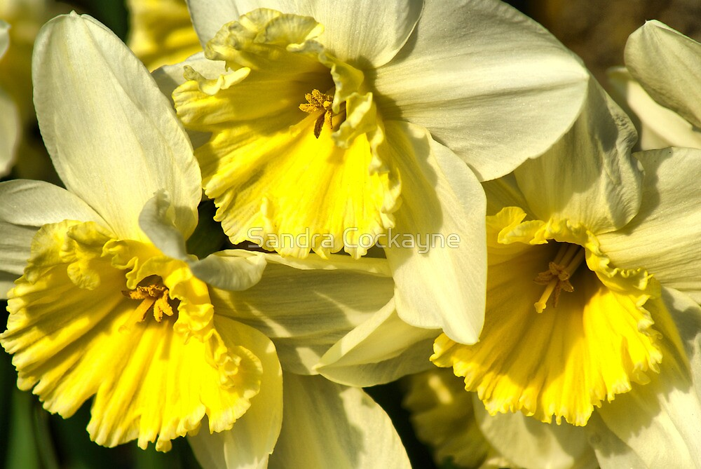 Yellow, Frilly, Daffys by Sandra Cockayne