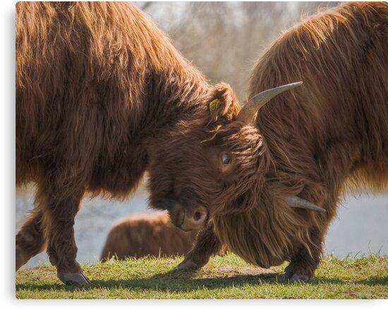 Bulls Fight  by Henri Ton