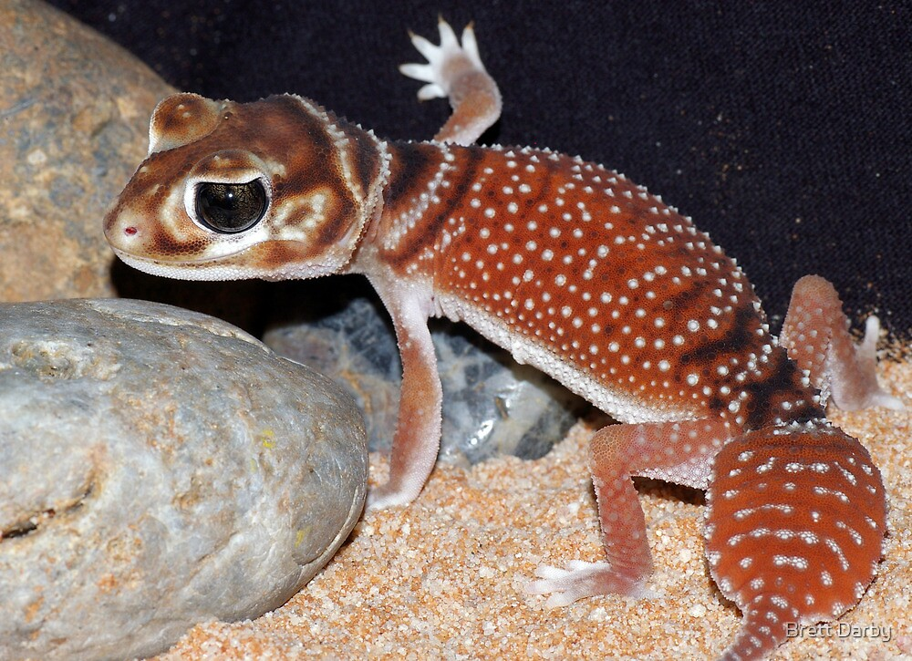 Nephrurus levis levis - Smooth Knob-tailed Gecko by Brett Darby