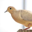 Mourning Dove by Jessica Ponce