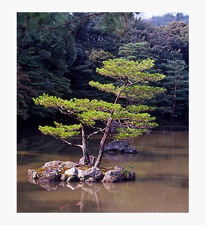 Ornamental Pine, Golden Pavilion, Kyoto , Japan. Photographic Print