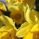 Daffodils by Catherine Hadler