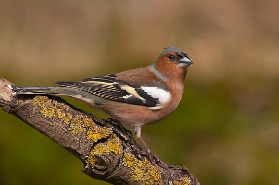 Chaffinch by Willem Hoekstra