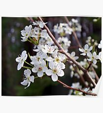 Pear Tree Blossoms III - Spring Has Sprung Poster