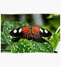 Heliconius Butterfly Poster