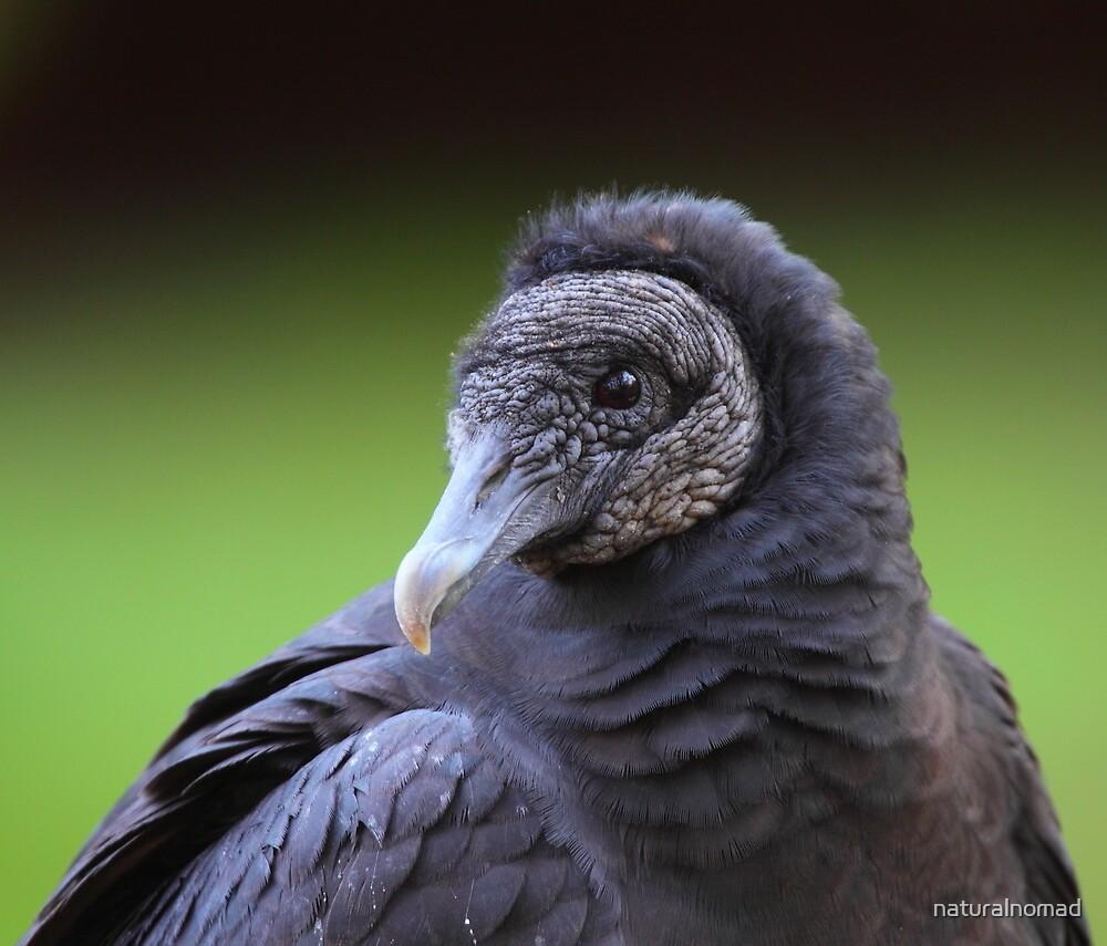 Black Vulture by naturalnomad