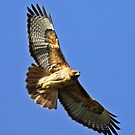 Red-tailed Hawk Soaring on High  by Chuck Gardner