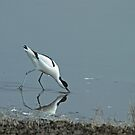 Foraging Avocet by Robert Abraham