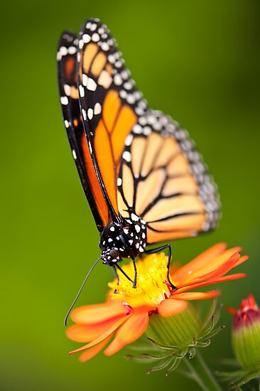 Butterfly 2 by Jacinthe Brault