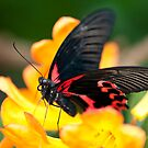 Butterfly 3 by Jacinthe Brault
