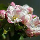 Apple Blossom Time Again by AnnDixon
