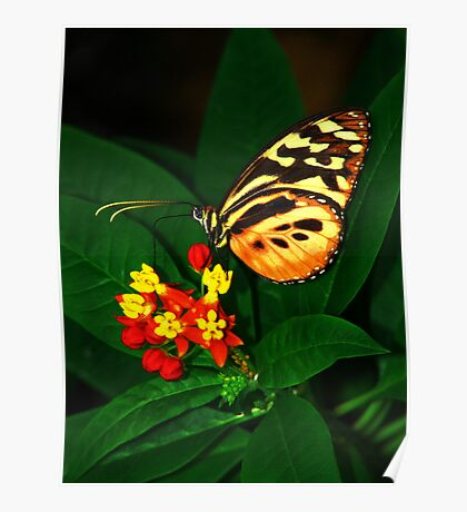 Tiger Longwing Butterfly on Flower Poster
