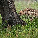 Cheetah in Tanzania, Africa 2 by Raymond J Barlow