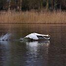 Swan Take-off by Paul  Eden
