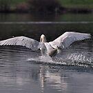 Swan: Landing by Paul  Eden