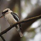Kookaburra by JeniNagy