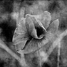 Layered Poppy by wildone
