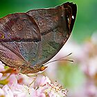 butterfly leaf by Manon Boily