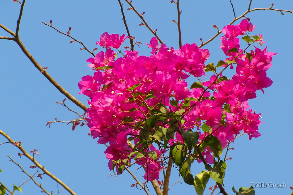 Full Bloom by Tridib Ghosh