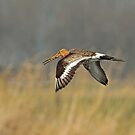 Godwit In Flight by Robert Abraham