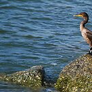 Cormorant on a rock by Ben Waggoner