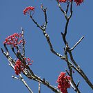 Mountain Ash by Gary L   Suddath