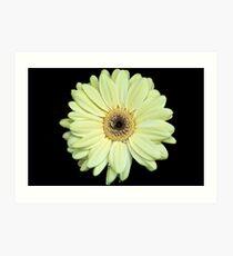 Pale yellow Gerbera Art Print