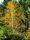 Lone Yellow Tree  by Marcia Rubin