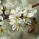hawthorn bee by jaffa