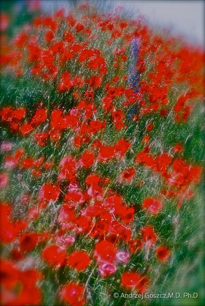 Poppy flowers  - wonderful spring et Austria (Niederösterreich) . . by Brown Sugar . Views (142). Dziękuję ! OK! VSOP !!! Fav (2) ! by © Andrzej Goszcz,M.D. Ph.D