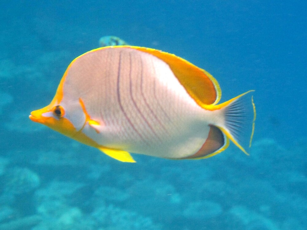 Underwater Maldives: Yellowhead Butterflyfish by presbi
