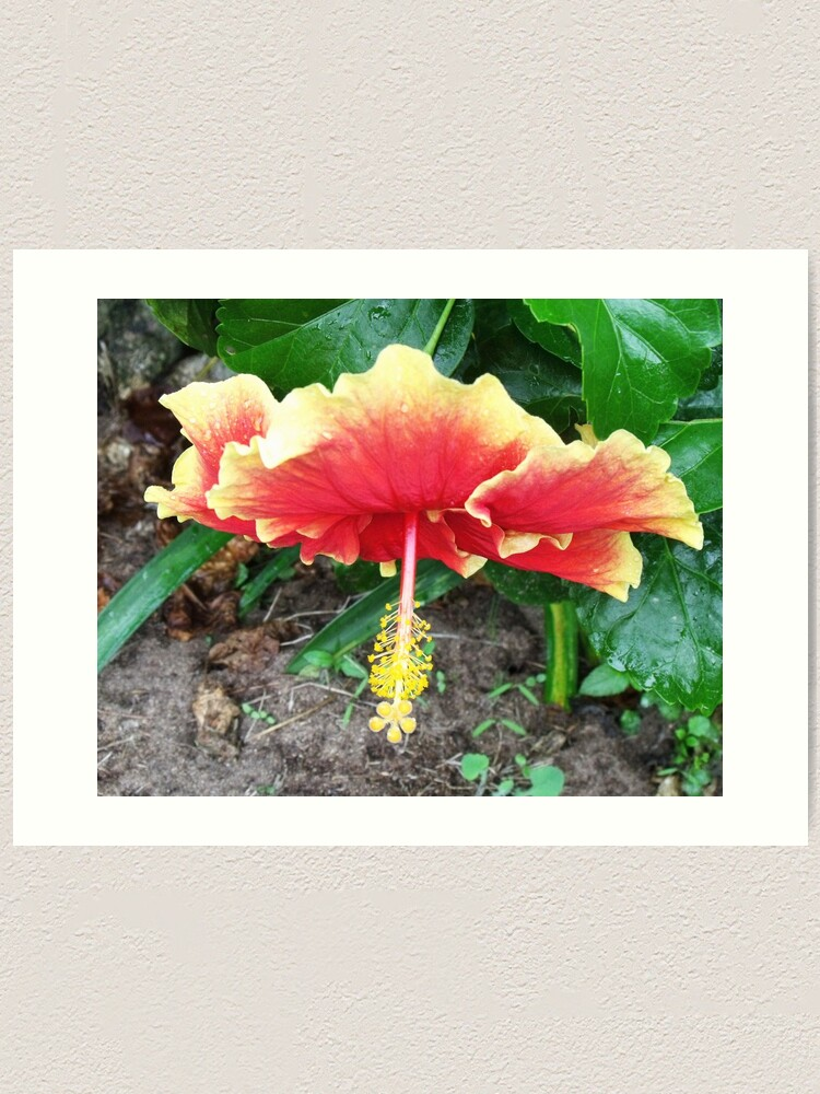 Alternate view of Hibiscus Beauty Art Print