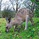 Kangaroo by Christopher Meder Photography