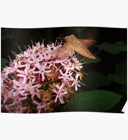 Hummingbird Moth in Clerodendrum Poster