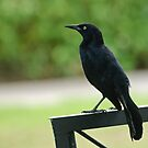 Friendly Carib Grackle by Michael Garson