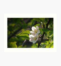 Apple Blossom Art Print