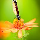 Butterfly 9 by Jacinthe Brault