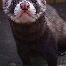 Zorro the polceat/ferret hybrid by Harpyimages