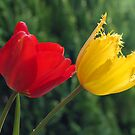 Tulip, Red & Yellow by Bev Pascoe