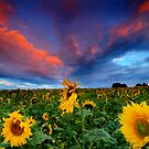 Sunflowers by Dave Hudspeth