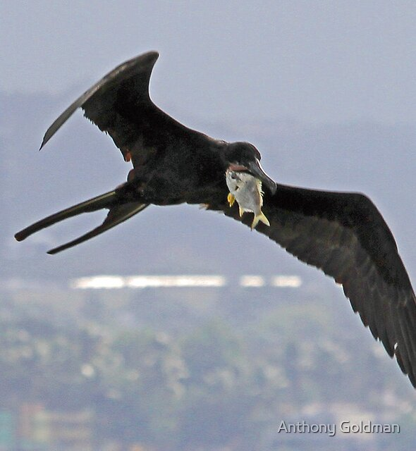 Frigate bird with fresh catch! by Anthony Goldman