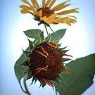Feeble Sunflower - 2 by Virag Anna Margittai