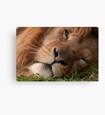 The Lion sleeps tonight (Panthera leo) Canvas Print