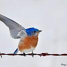 Eastern Bluebird Display by Nancy Barrett